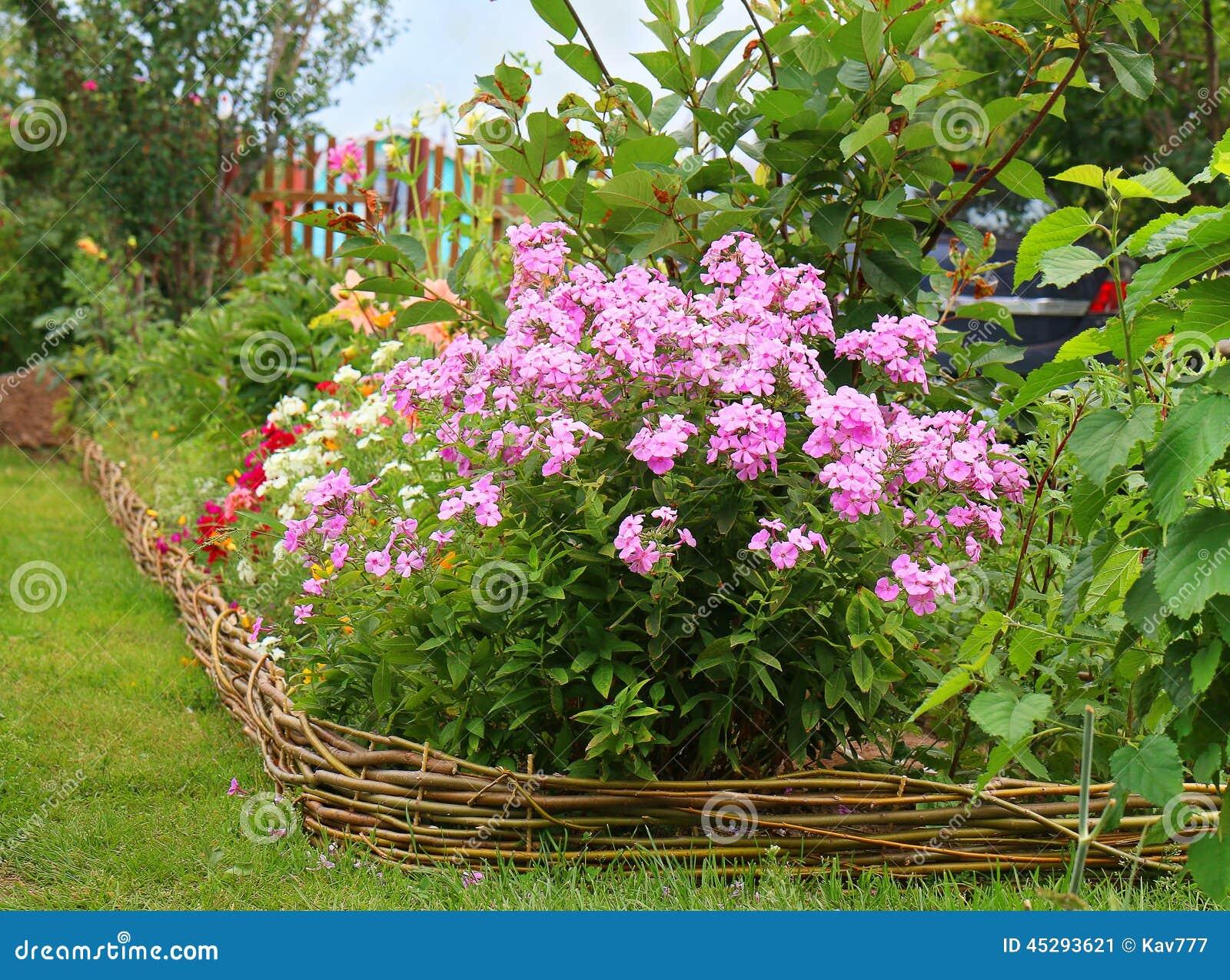 Ideeën voor tuin floxpaniculata in bloei stock afbeelding