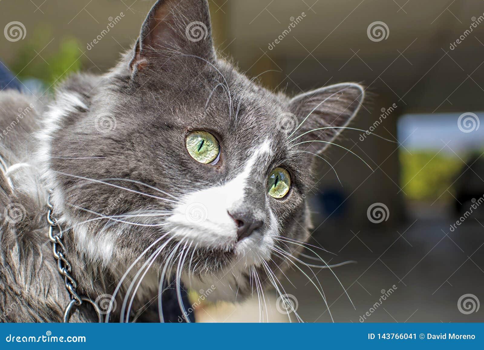 Ideia ascendente próxima do cat& verde bonito x27; olho de s Jogo cinzento e branco do gato exterior Pele textured bonita