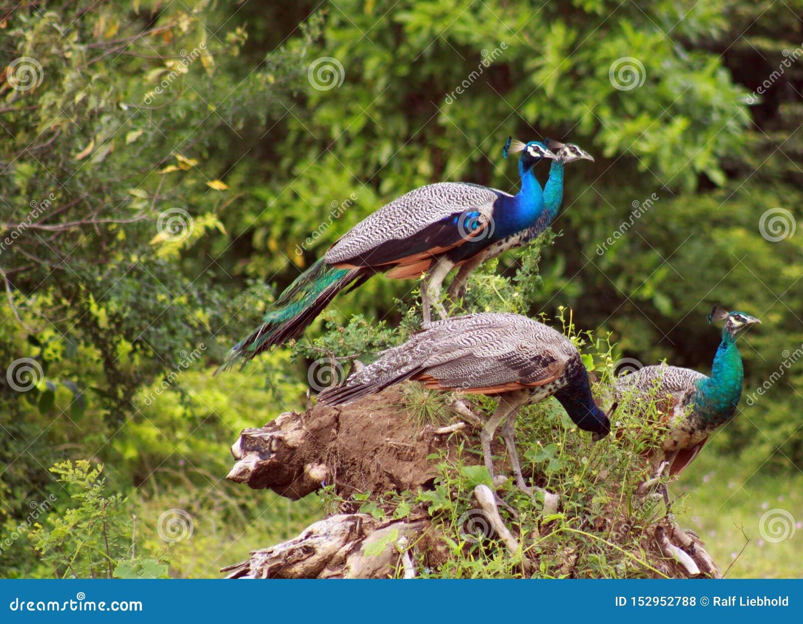 Ideia lateral de um grupo do cristatus masculino do Pavo de quatro peafowls que senta-se no tronco de uma árvore em Yala NP, Sri