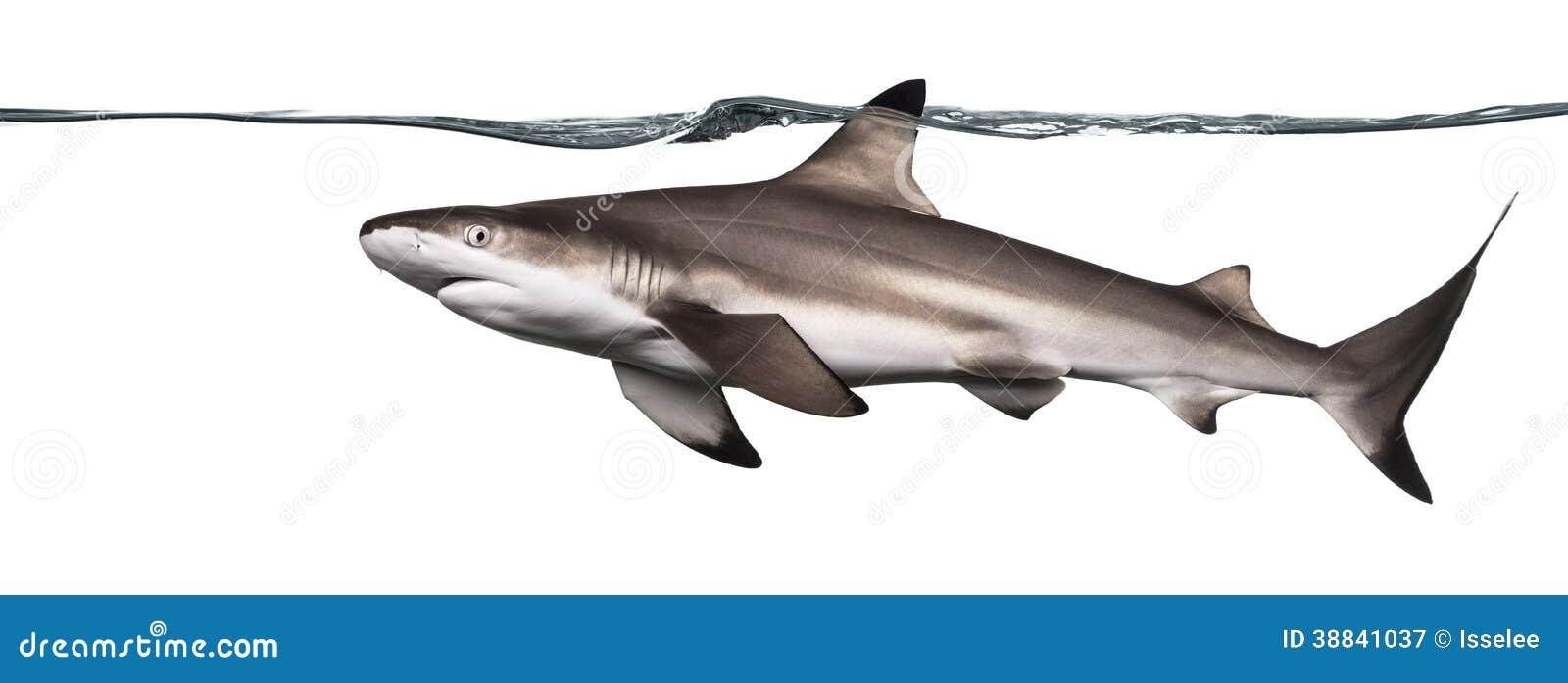 Ideia lateral de uma natação do tubarão do recife de Blacktip