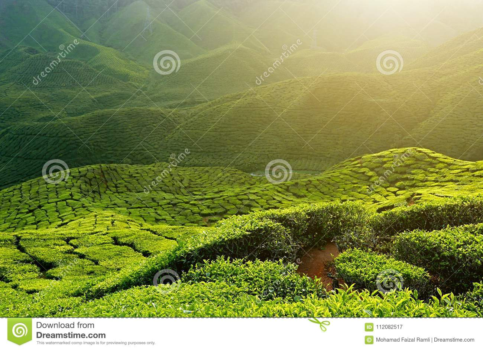 Ideia majestosa da paisagem da plantação de chá de Cameron Highlands Pahang Malaysia Fundo ou contexto da natureza ou da agricult