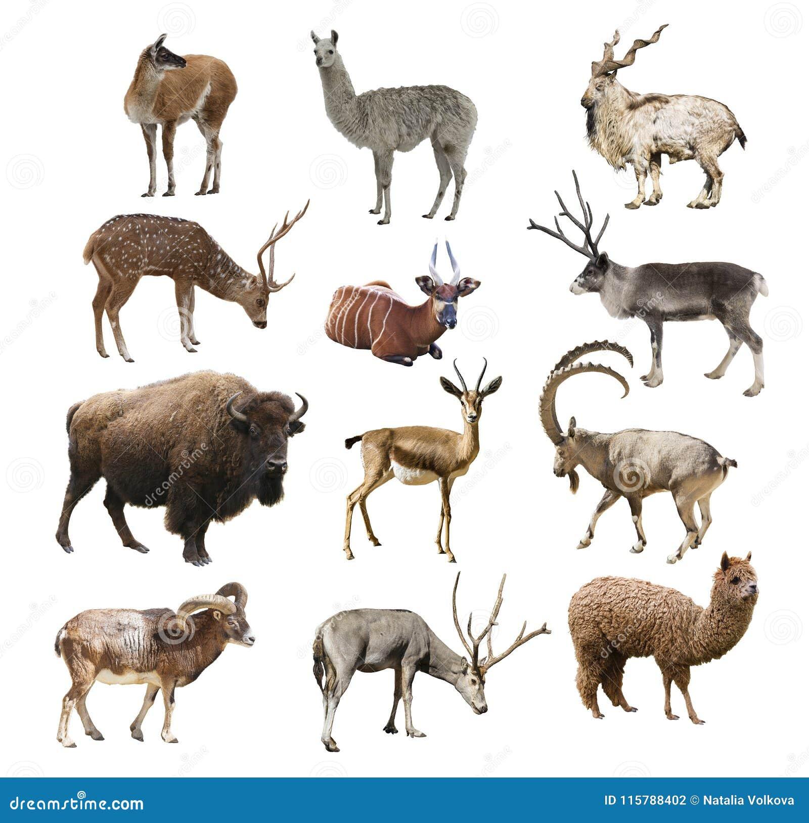 Idisslande djur för däggdjurartiodactyl på isolerad vit bakgrund