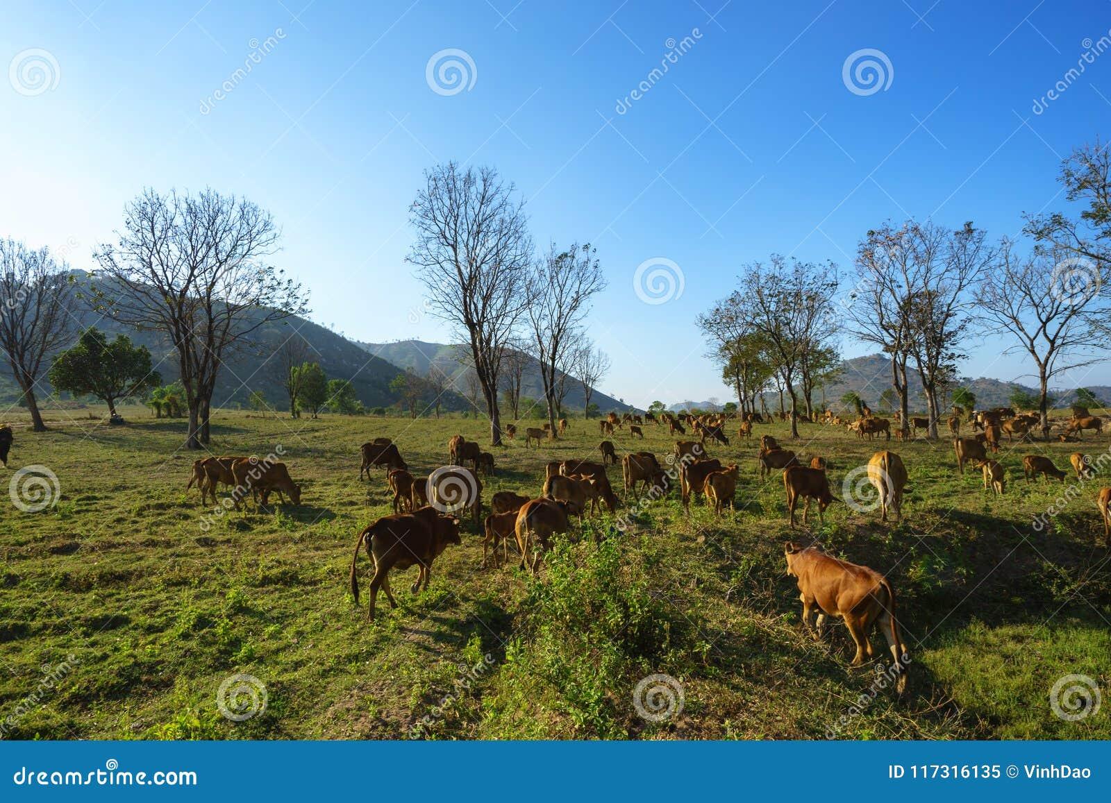 Idylliczny lato krajobraz z krowami w trawy polu w Środkowych średniogórzach Wietnam