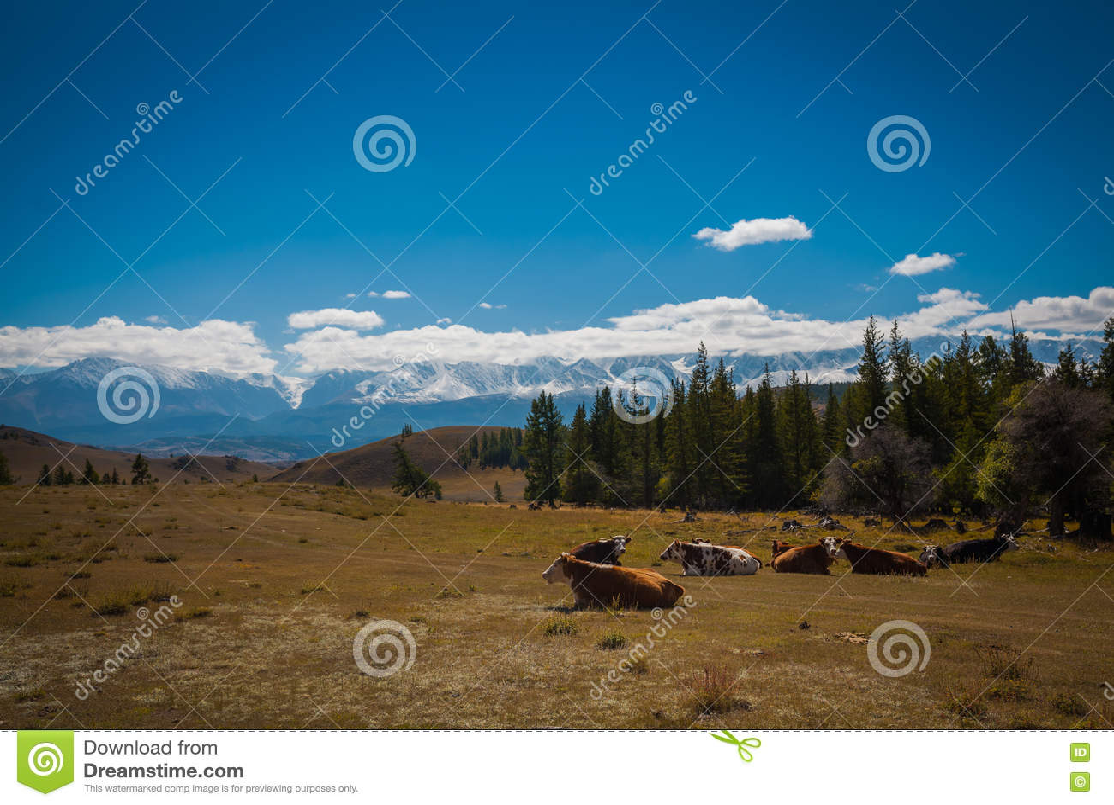 Idyllisch landschap met koeien die in verse groene weiden weiden