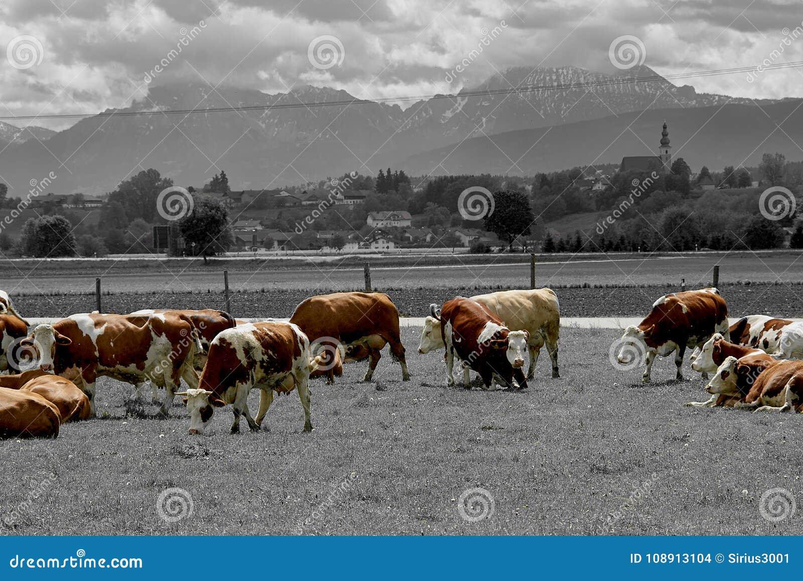 Idyllisch landschap voor de Alpen met koeien
