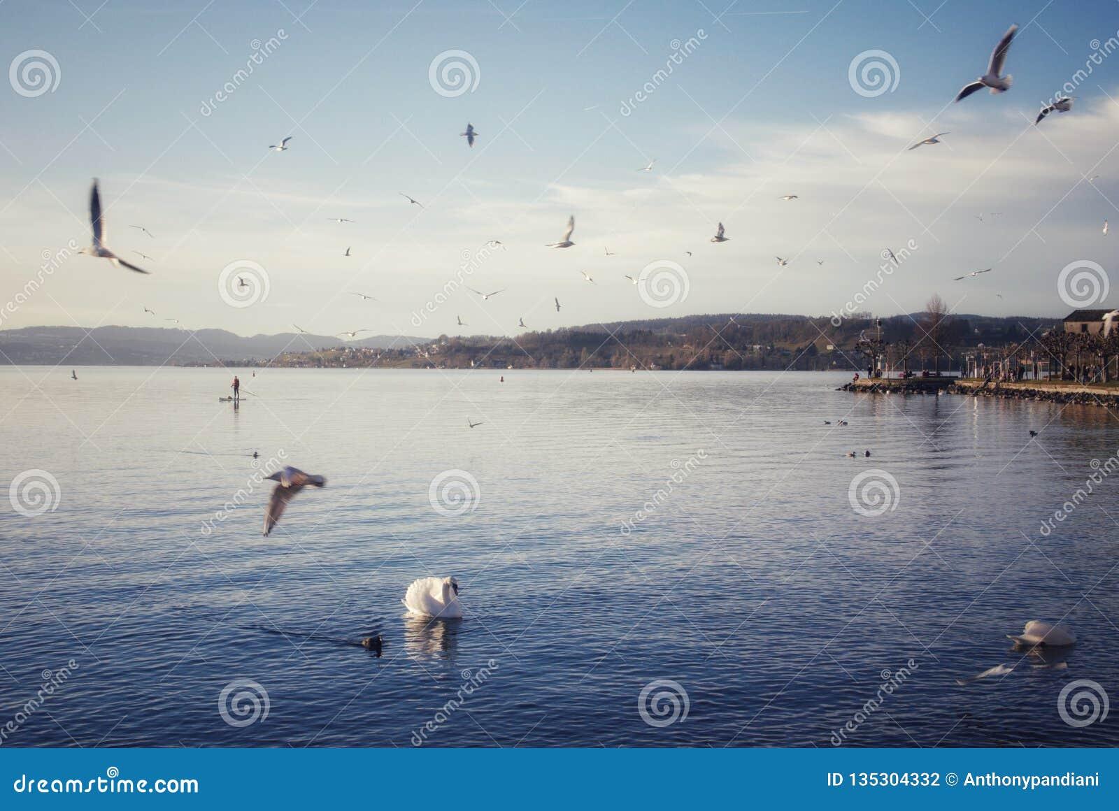 Idyllische Landschaft mit Wasservögeln am See in Rapperswil die Schweiz