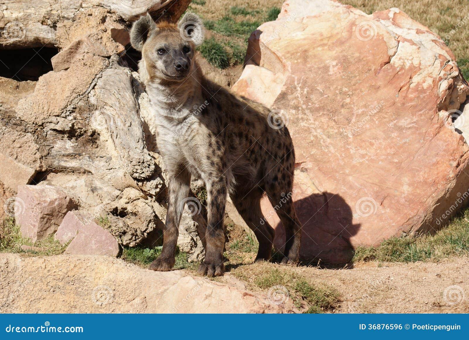 Download Iena (di Risata) Macchiata - Crocuta Del Crocuta Fotografia Stock - Immagine di animale, occhi: 36876596