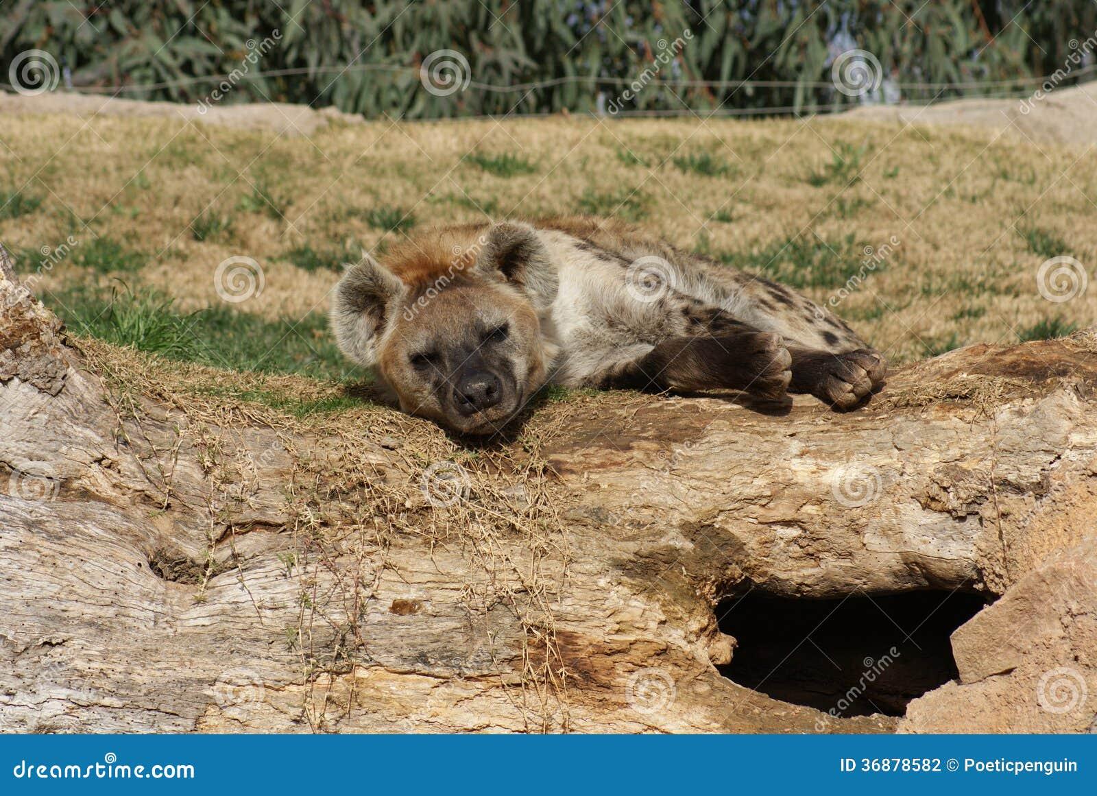 Download Iena (di Risata) Macchiata - Crocuta Del Crocuta Fotografia Stock - Immagine di ferocious, occhi: 36878582