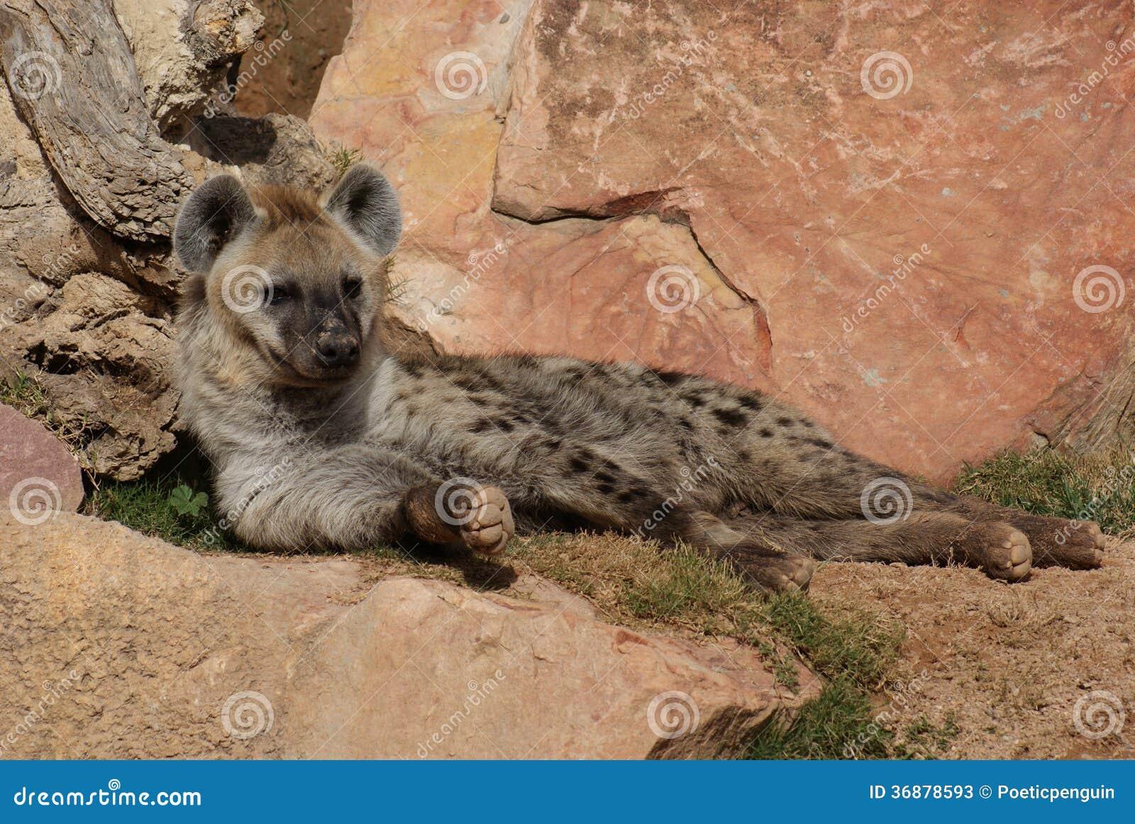 Download Iena (di Risata) Macchiata - Crocuta Del Crocuta Immagine Stock - Immagine di cane, africano: 36878593