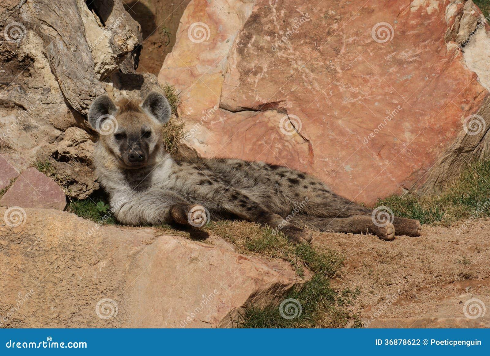 Download Iena (di Risata) Macchiata - Crocuta Del Crocuta Fotografia Stock - Immagine di fauna, occhi: 36878622