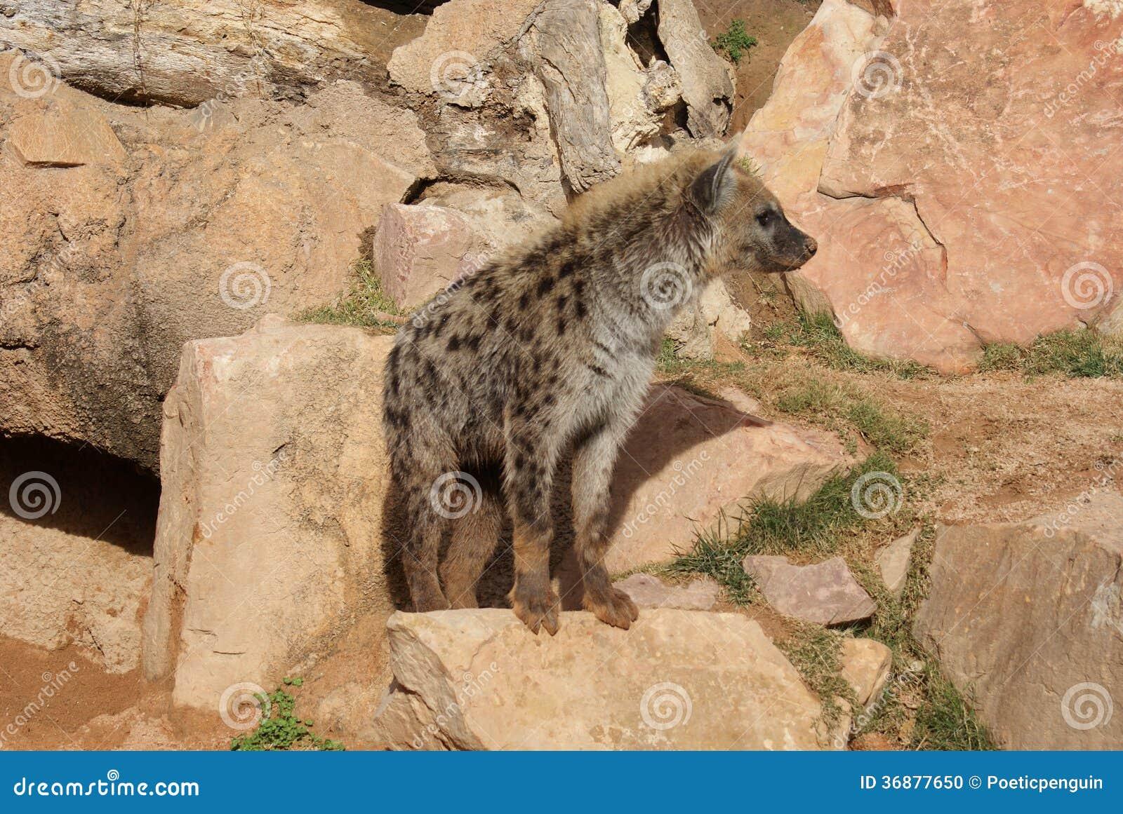 Download Iena Macchiata - Crocuta Del Crocuta Fotografia Stock - Immagine di feroce, wildlife: 36877650