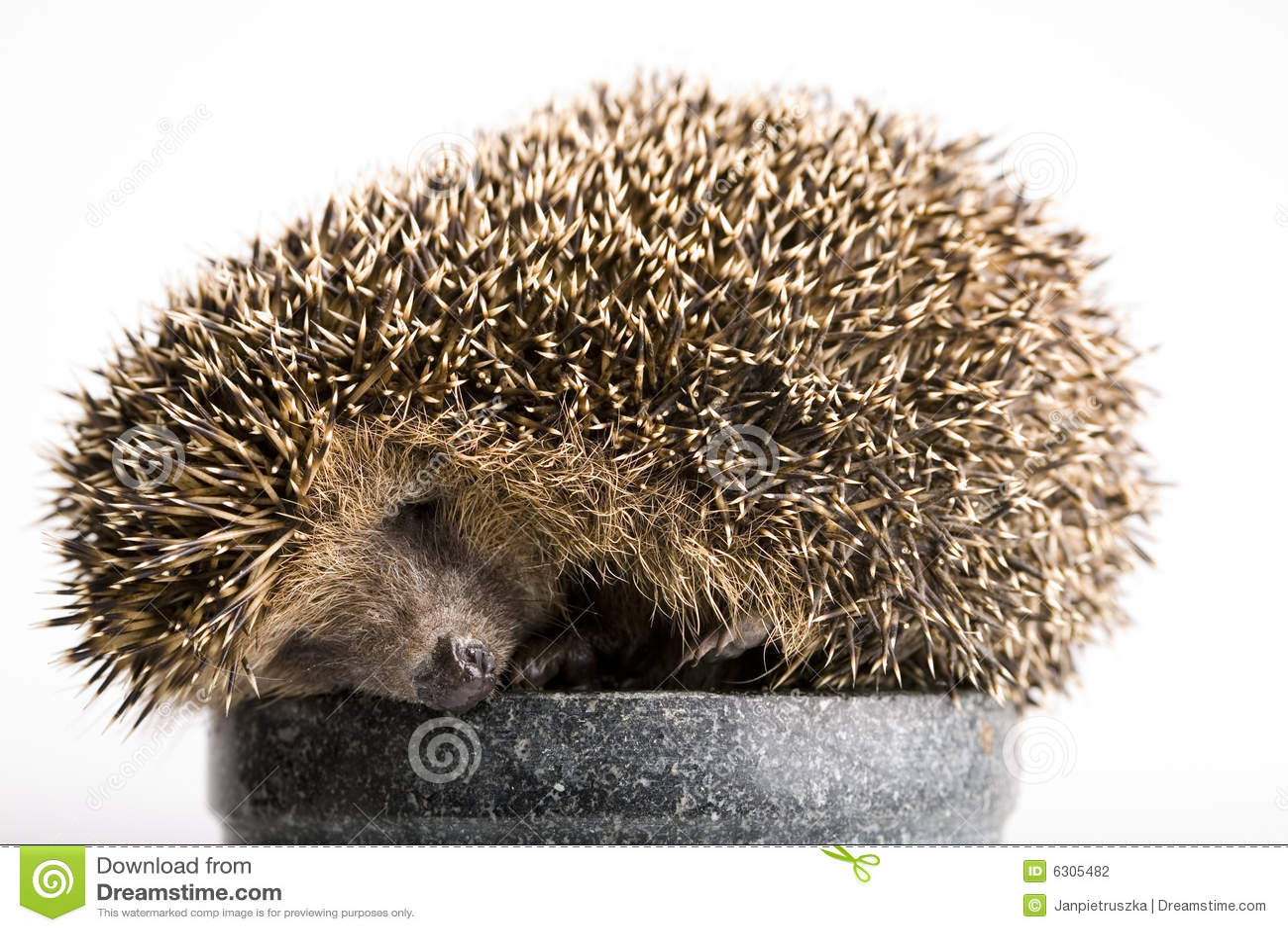 igel schlafen stockfoto bild von hedgehogs tier hedgehog 6305482. Black Bedroom Furniture Sets. Home Design Ideas