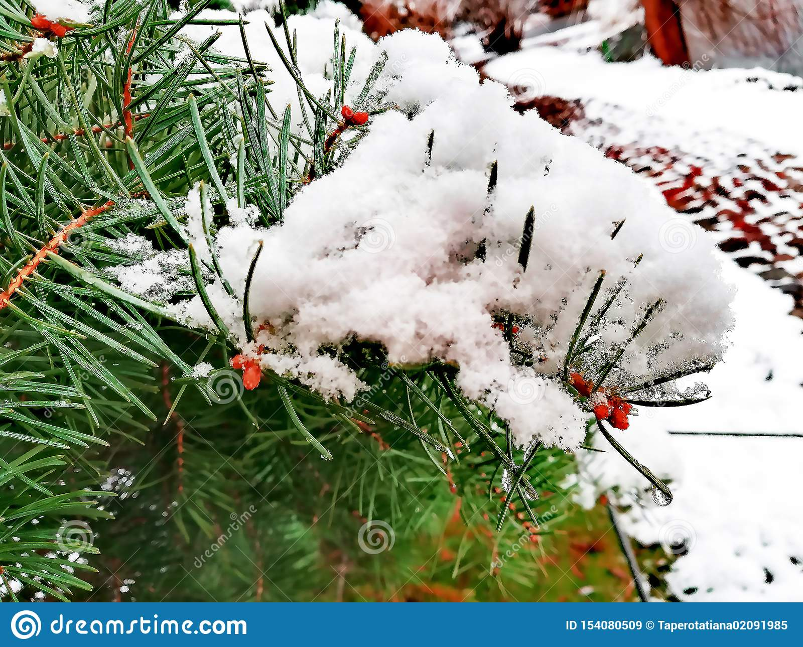 Iglasta łapa w śniegu