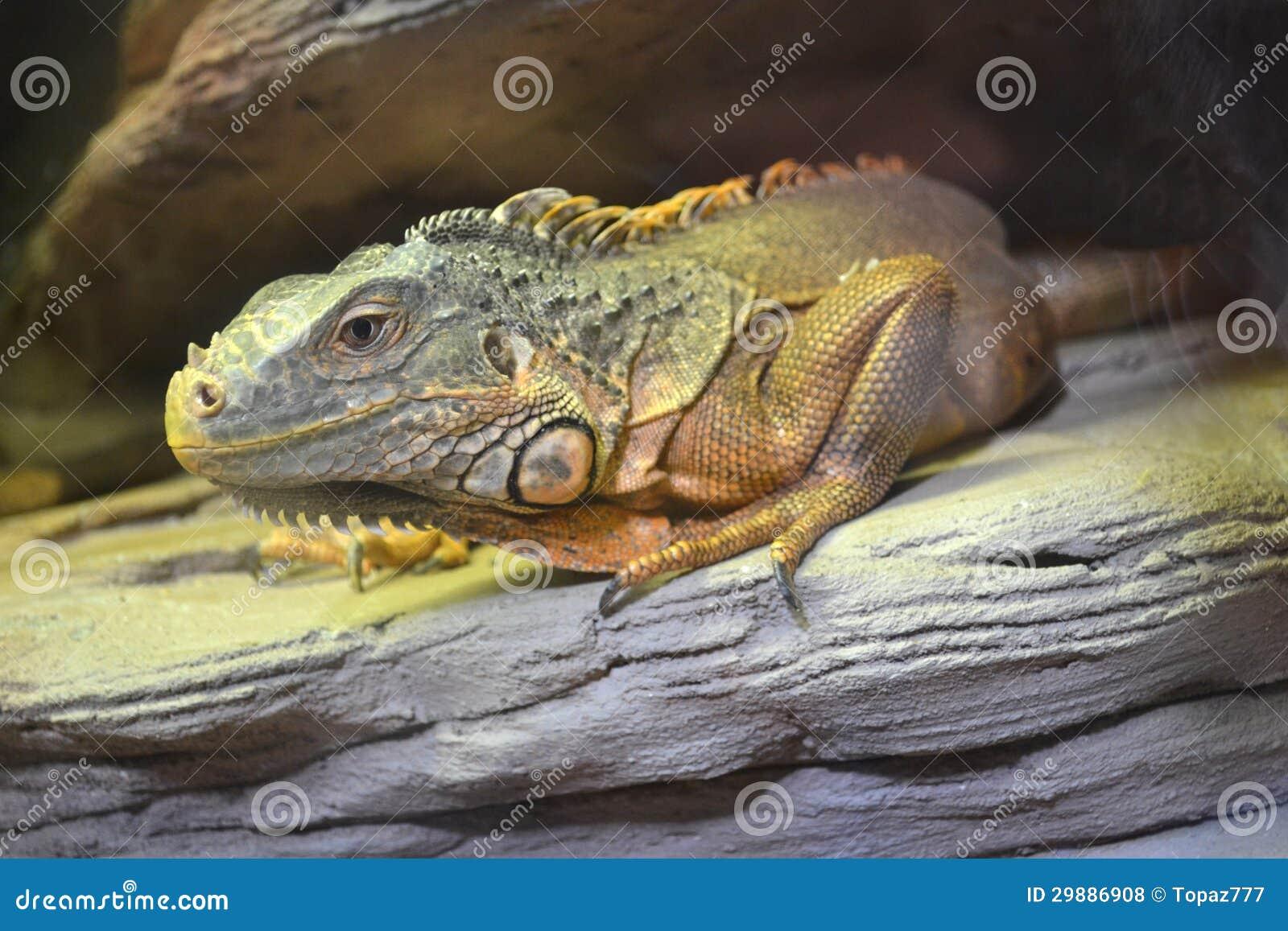 Iguan zwierzęta