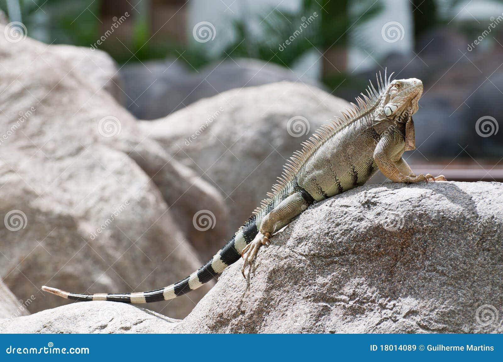 Iguana του Aruba