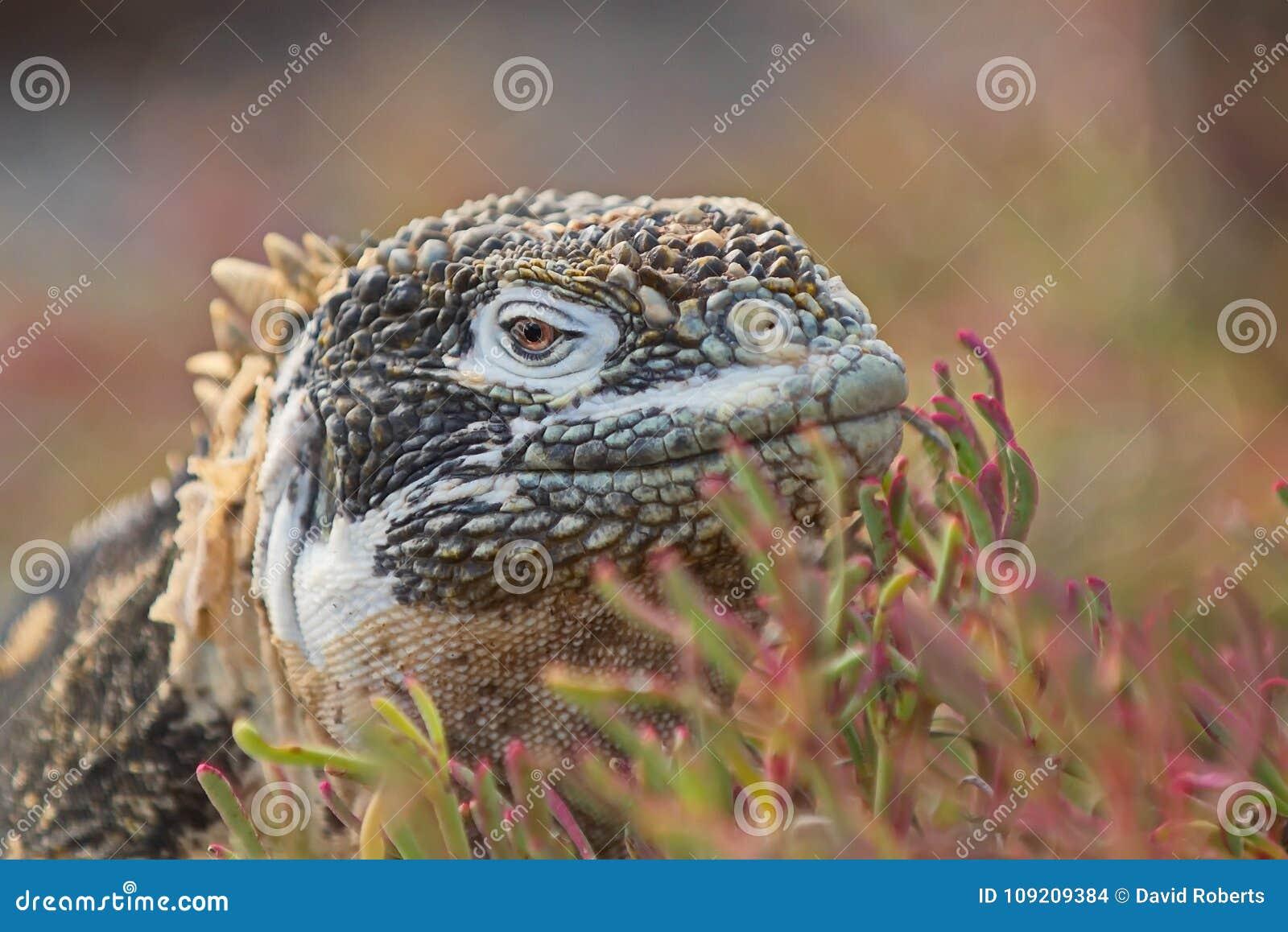 Iguana c da terra de Santa Fé pallidus
