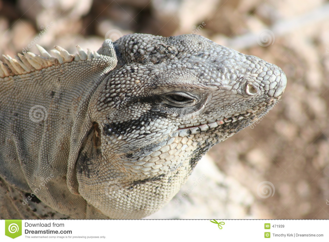 Download Iguana Close-up stock image. Image of lizard, isla, mexico - 471939