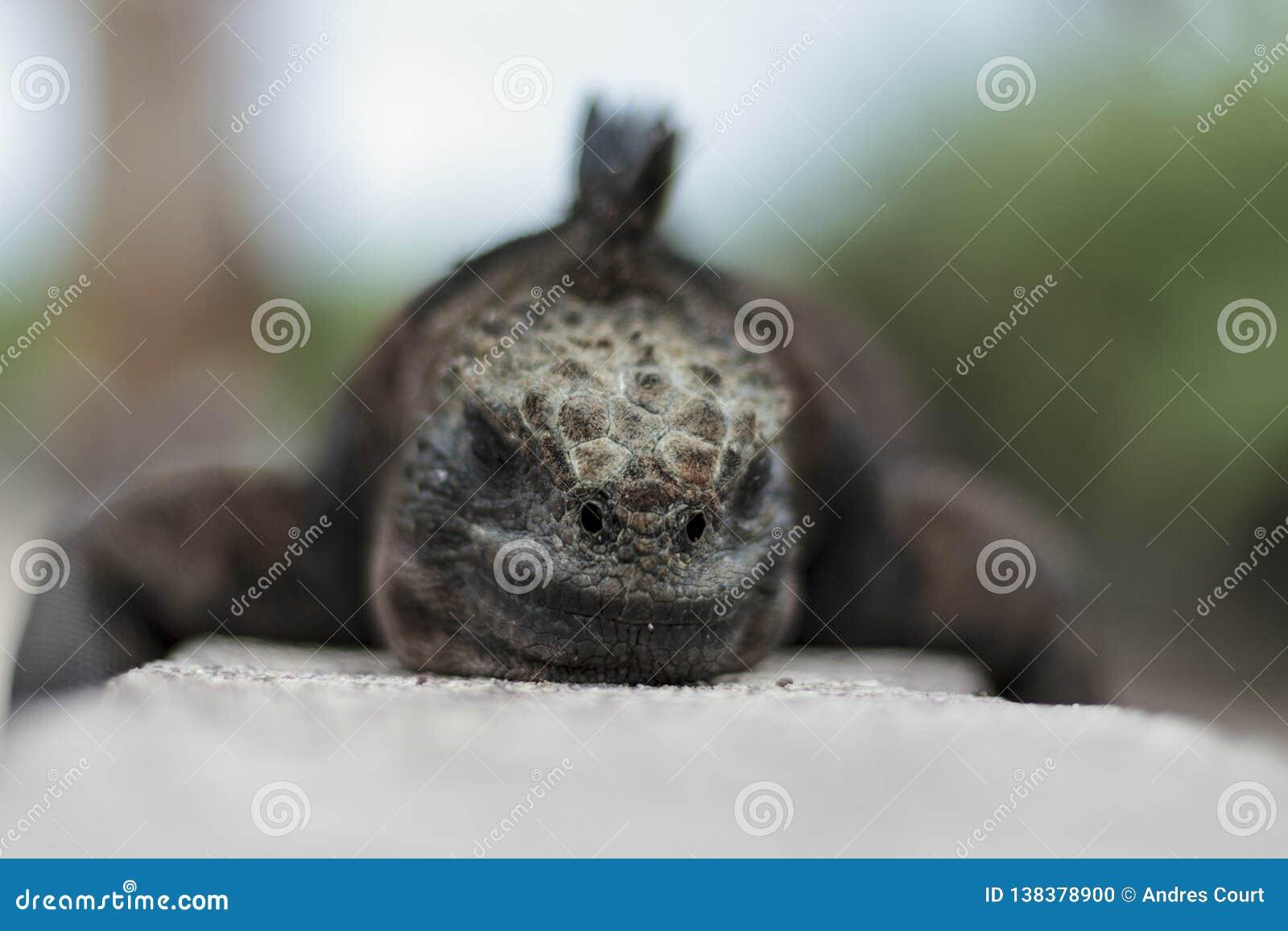 Iguana close up view