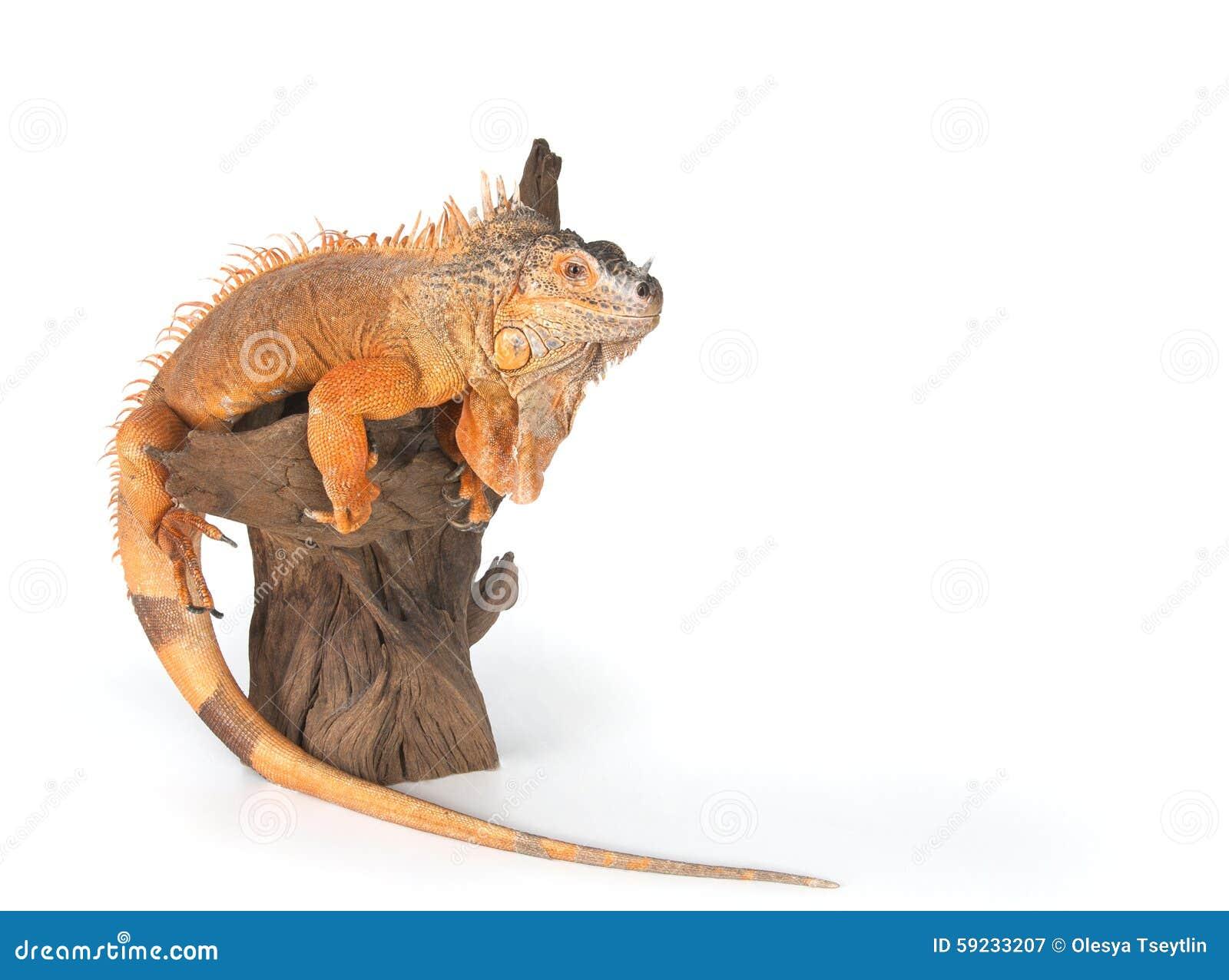 Iguana común (el rojo morph) que se incorpora en cierre de la madera de deriva