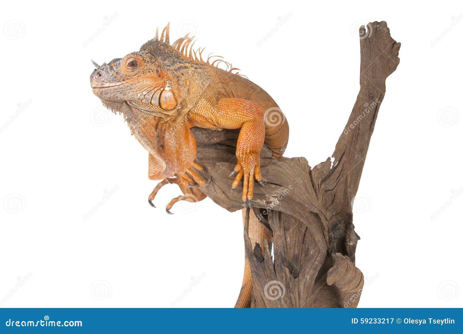 Download Iguana Común (el Rojo Morph) Que Se Sienta En Una Madera De Deriva Imagen de archivo - Imagen de aislado, madera: 59233217