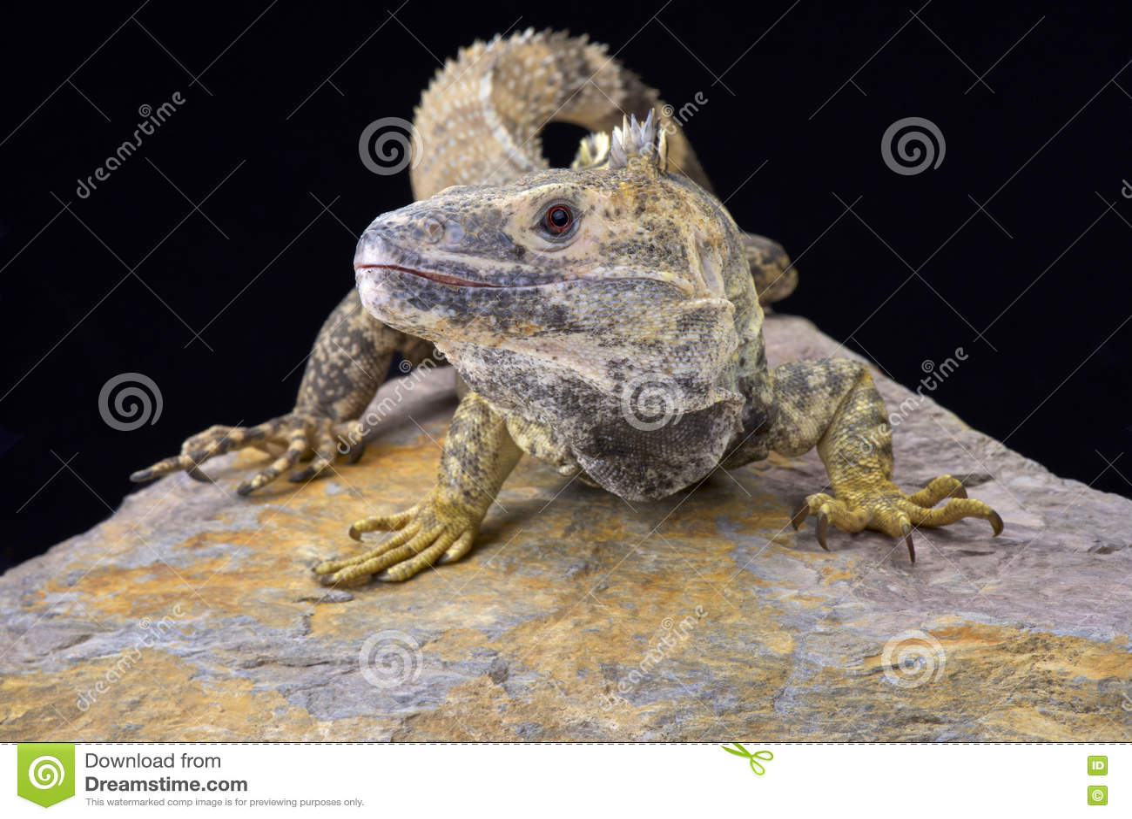 Iguana coperto di spine-munita messicano (Ctenosaura pettinato)