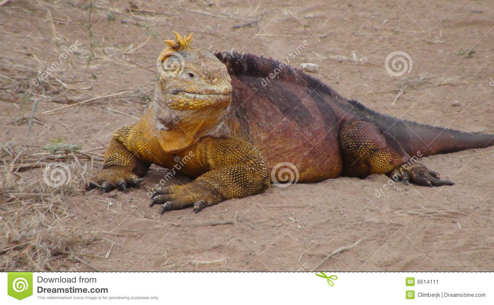 Iguana de la pista