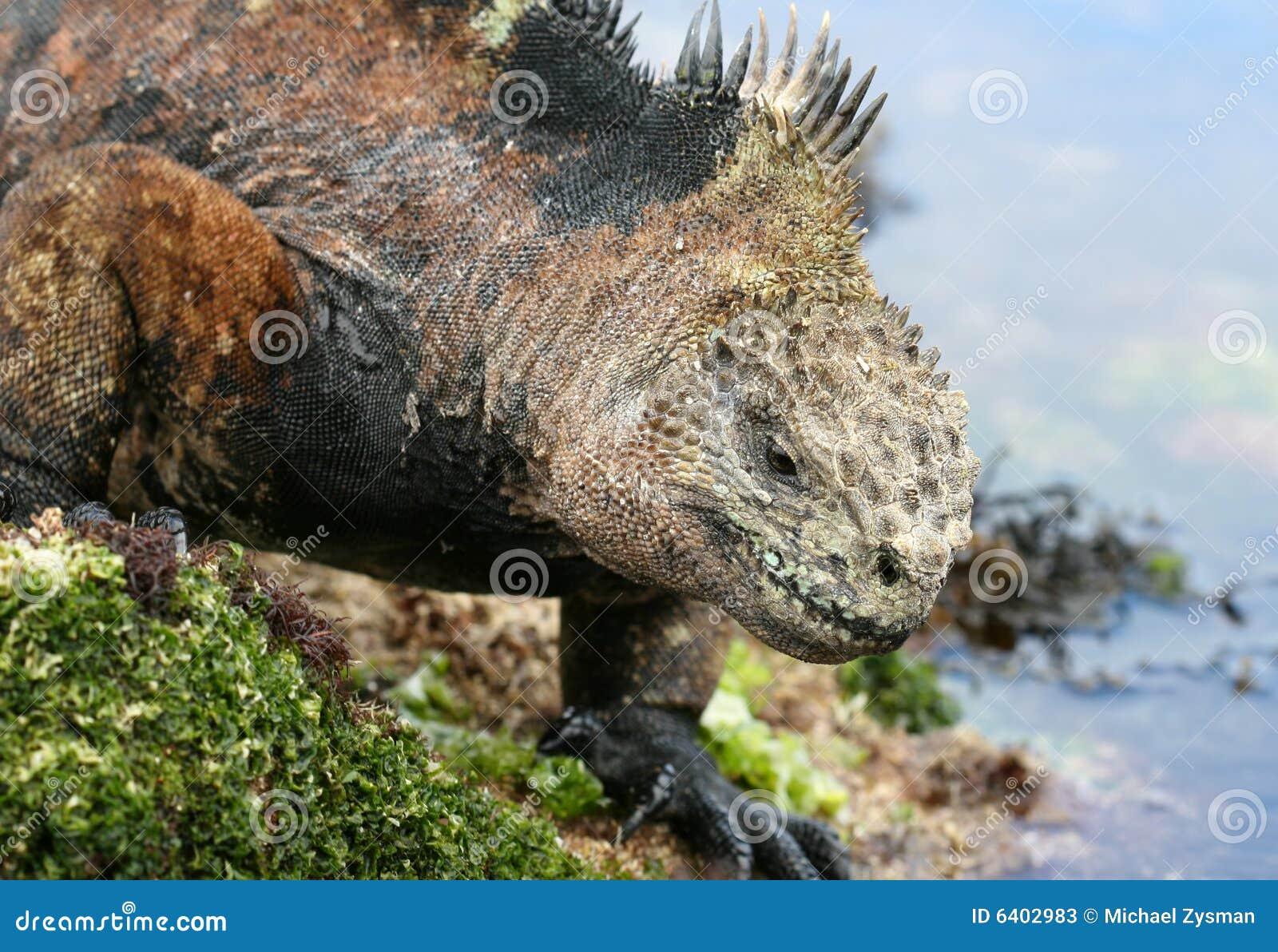 Iguana del infante de marina de las Islas Gal3apagos