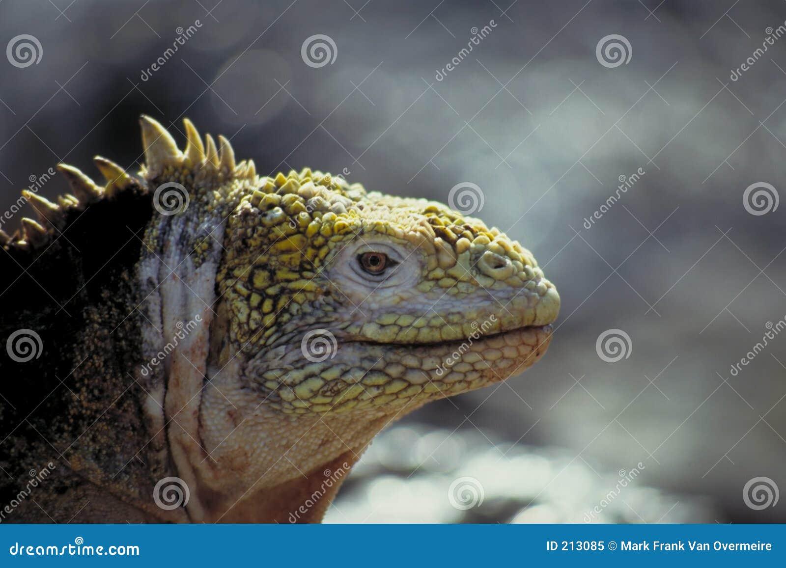 Iguana dello sbarco - isole di Galapagos