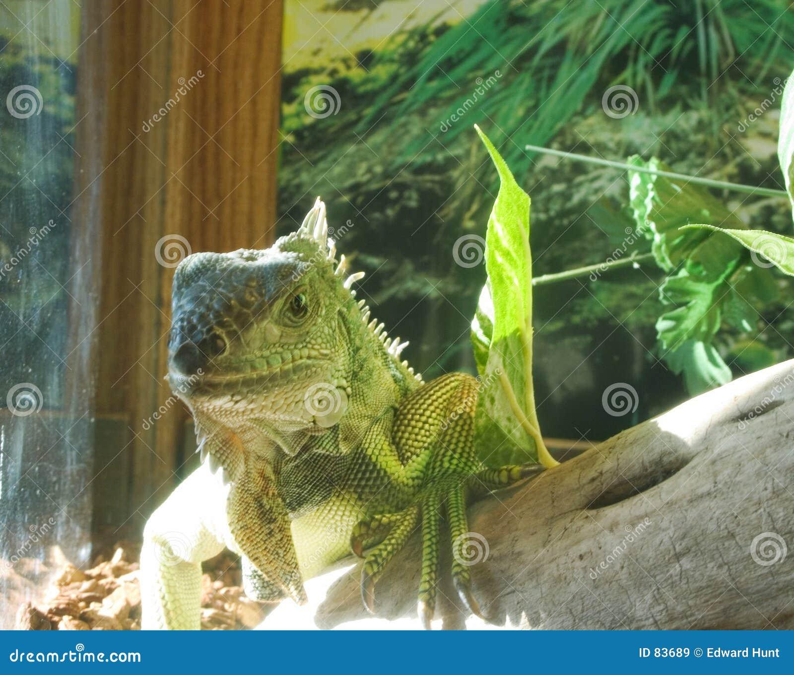 Iguana do animal de estimação