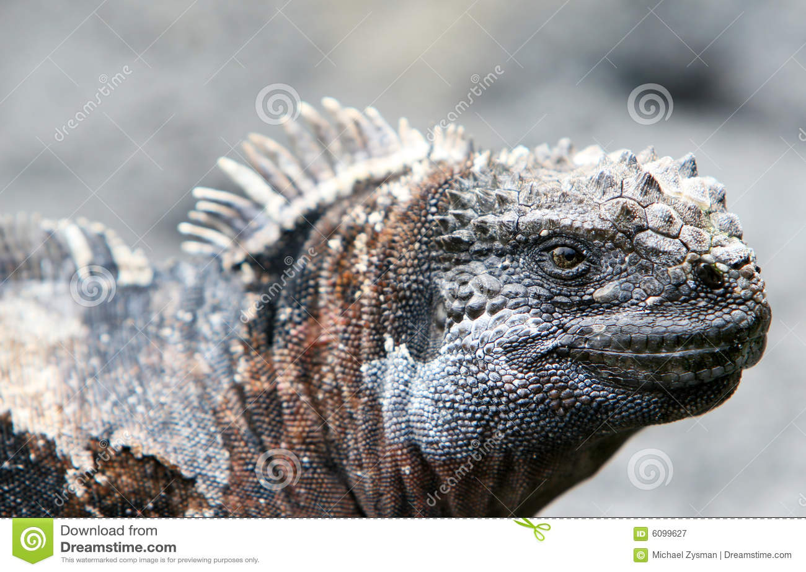 Iguana do fuzileiro naval de Galápagos