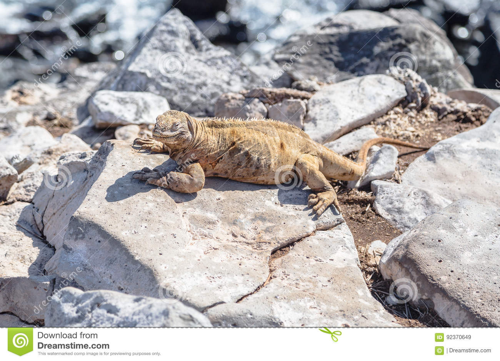 Iguana dos Galápagos empoleirados em rochas