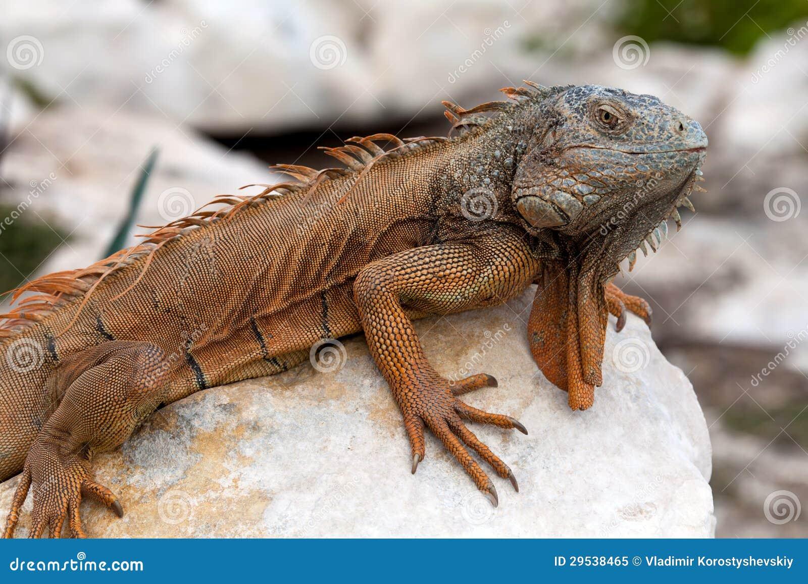 Iguana em Cancun, México