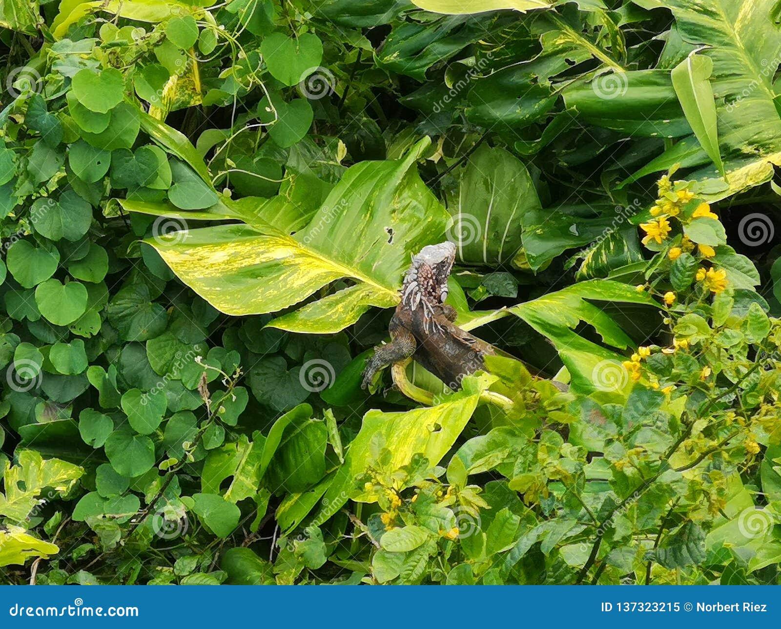 Iguana en verde