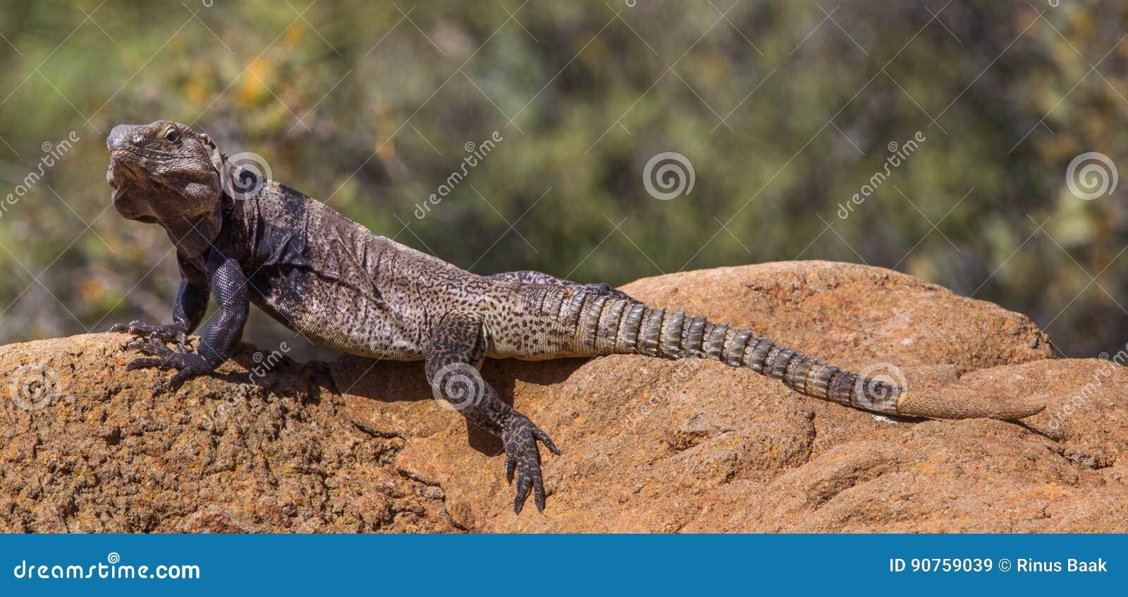 Iguana Espinoso-atada