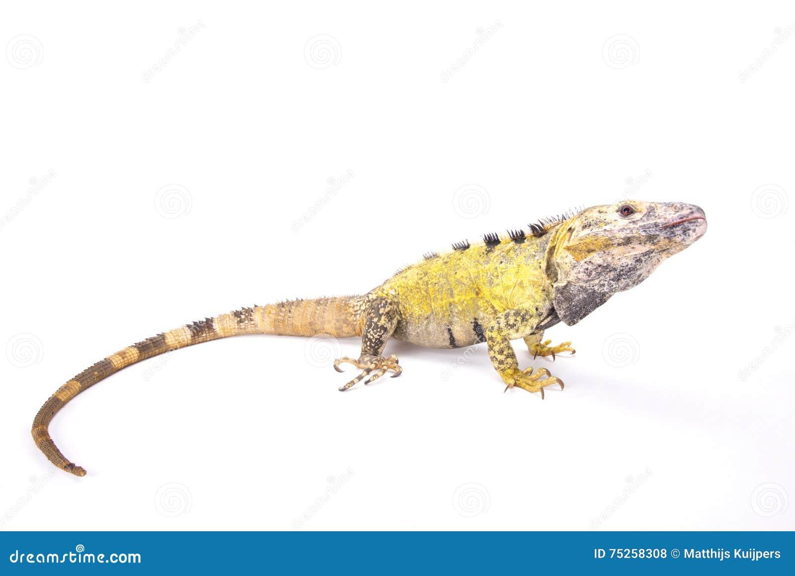 Iguana espinoso-atada mexicano (Ctenosaura pectinado)