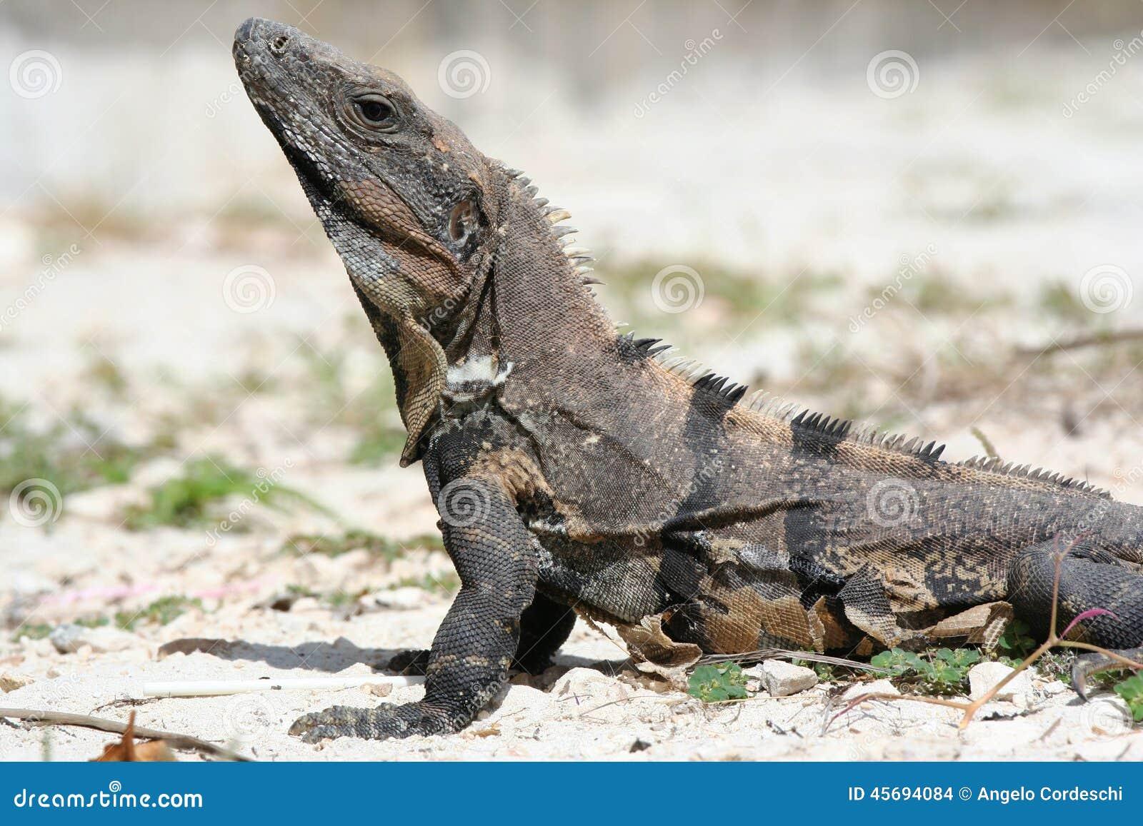 Iguana stock photo image 45694084
