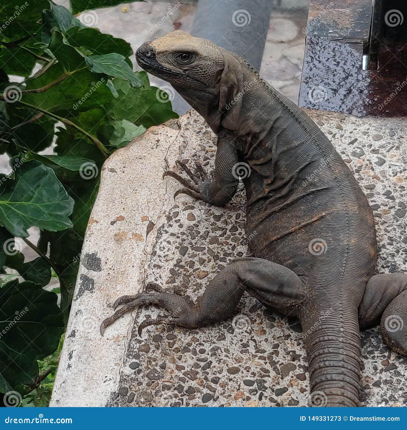 Iguana modelo