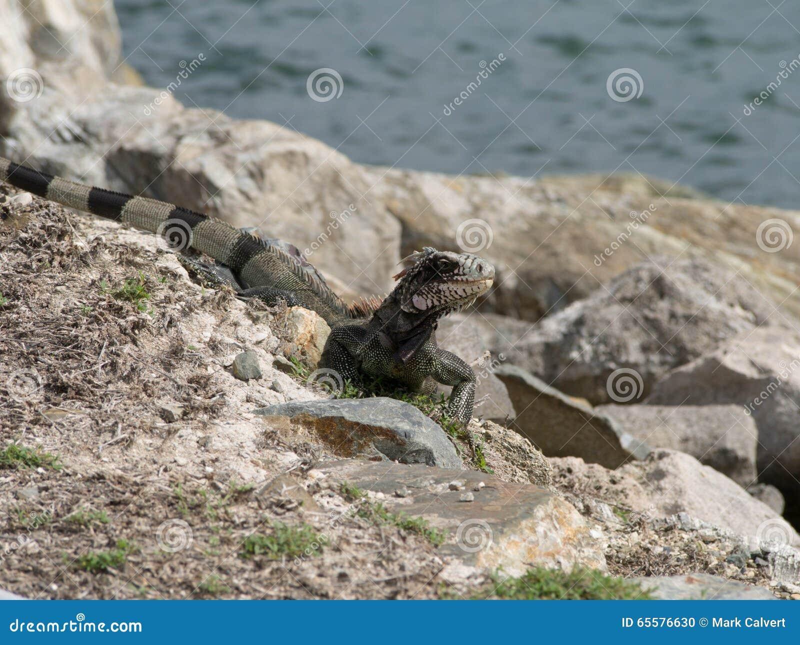 Iguana nas rochas pelo oceano
