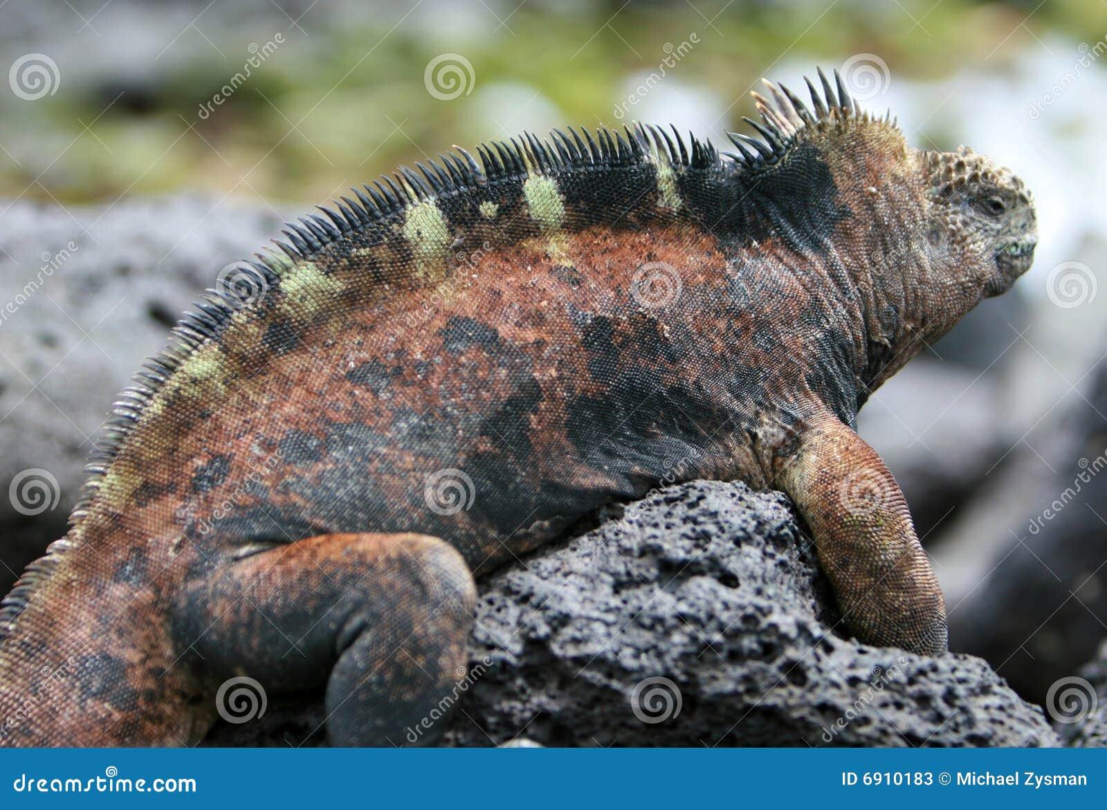 Iguana piękny żołnierz piechoty morskiej