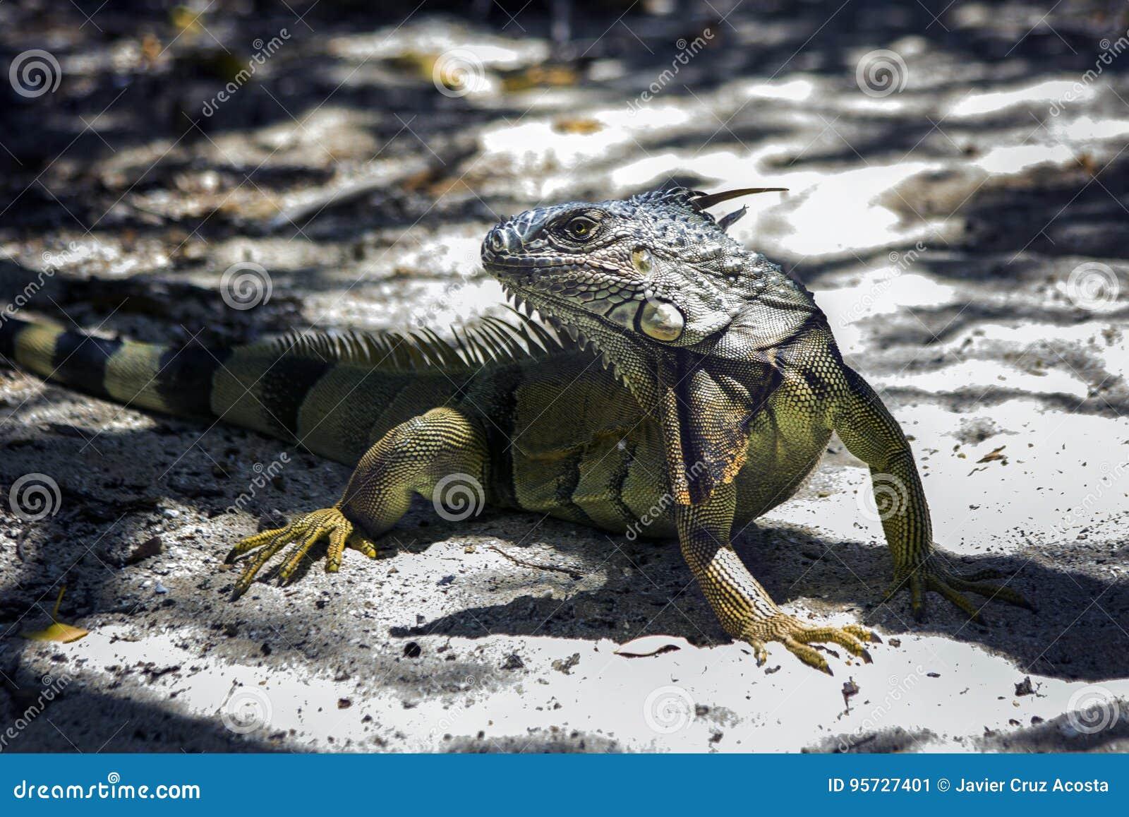 Iguana from Puerto Rico