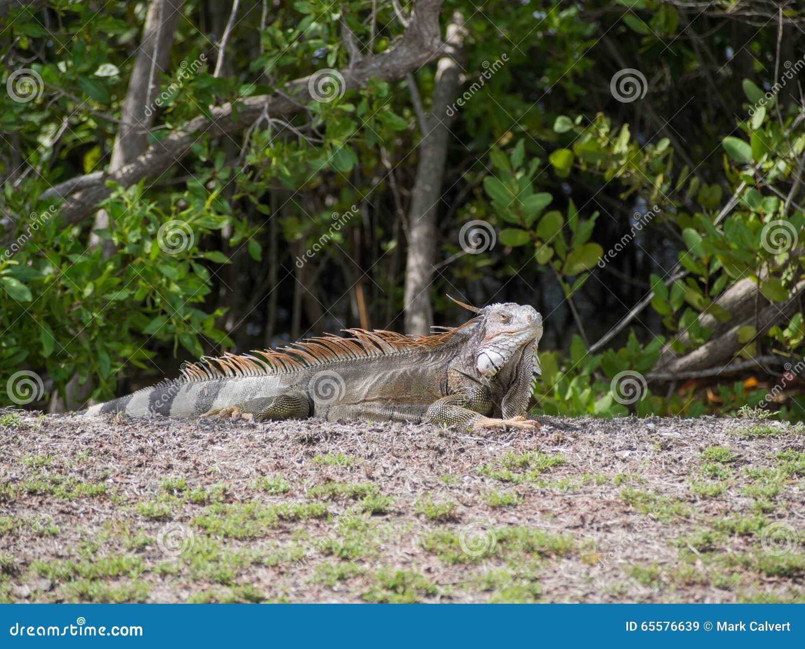 Iguana que expõe-se ao sol perto da praia em St Croix