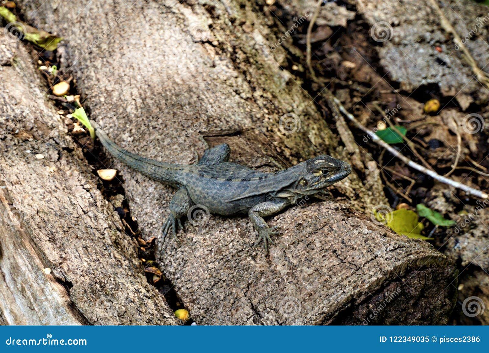 Iguana que senta-se em um tronco na fazenda Baru