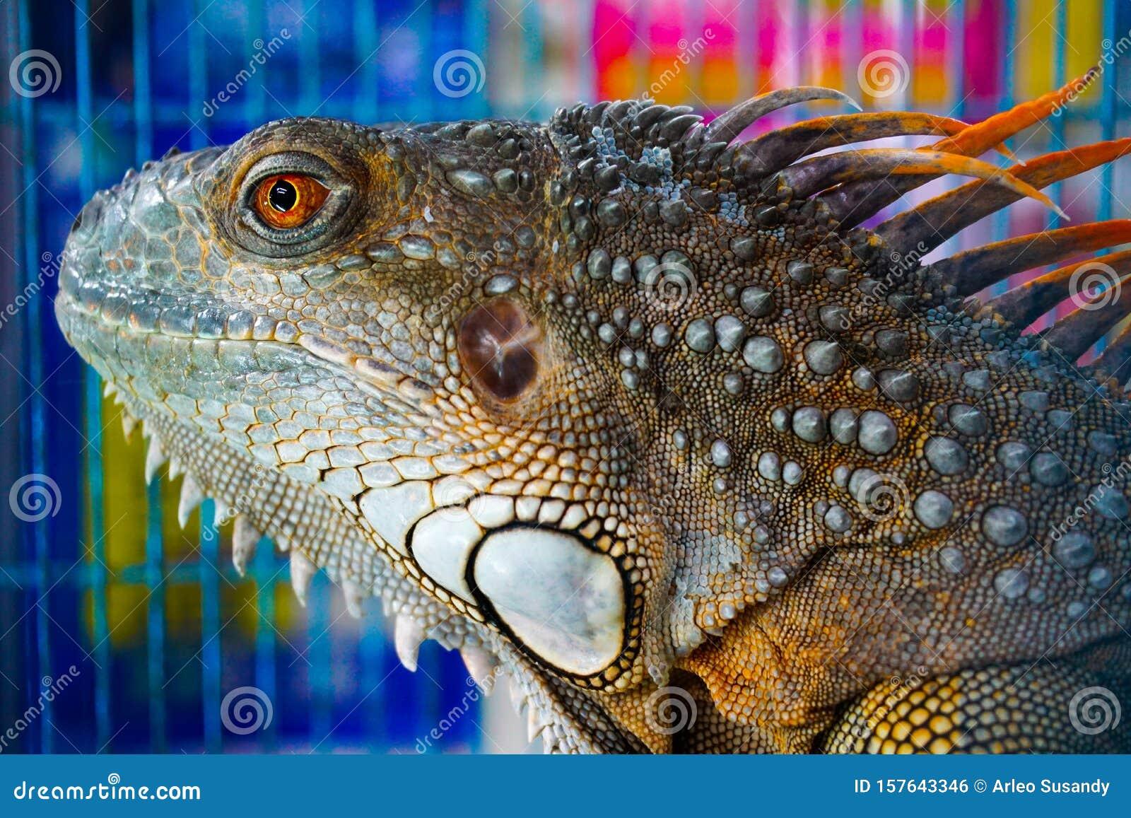 38++ Foto hewan iguana terupdate