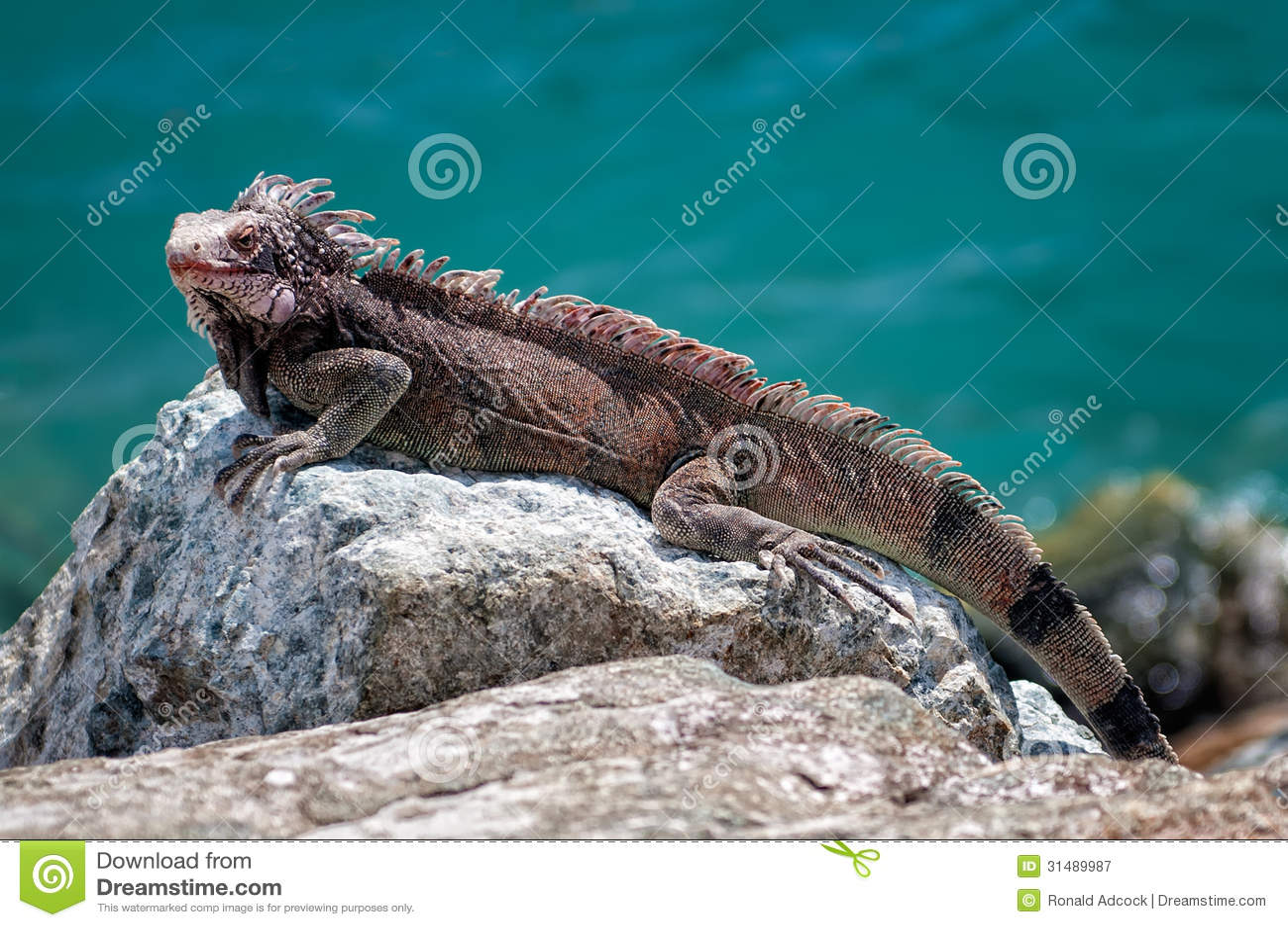 iguana rock large sitting 31489987