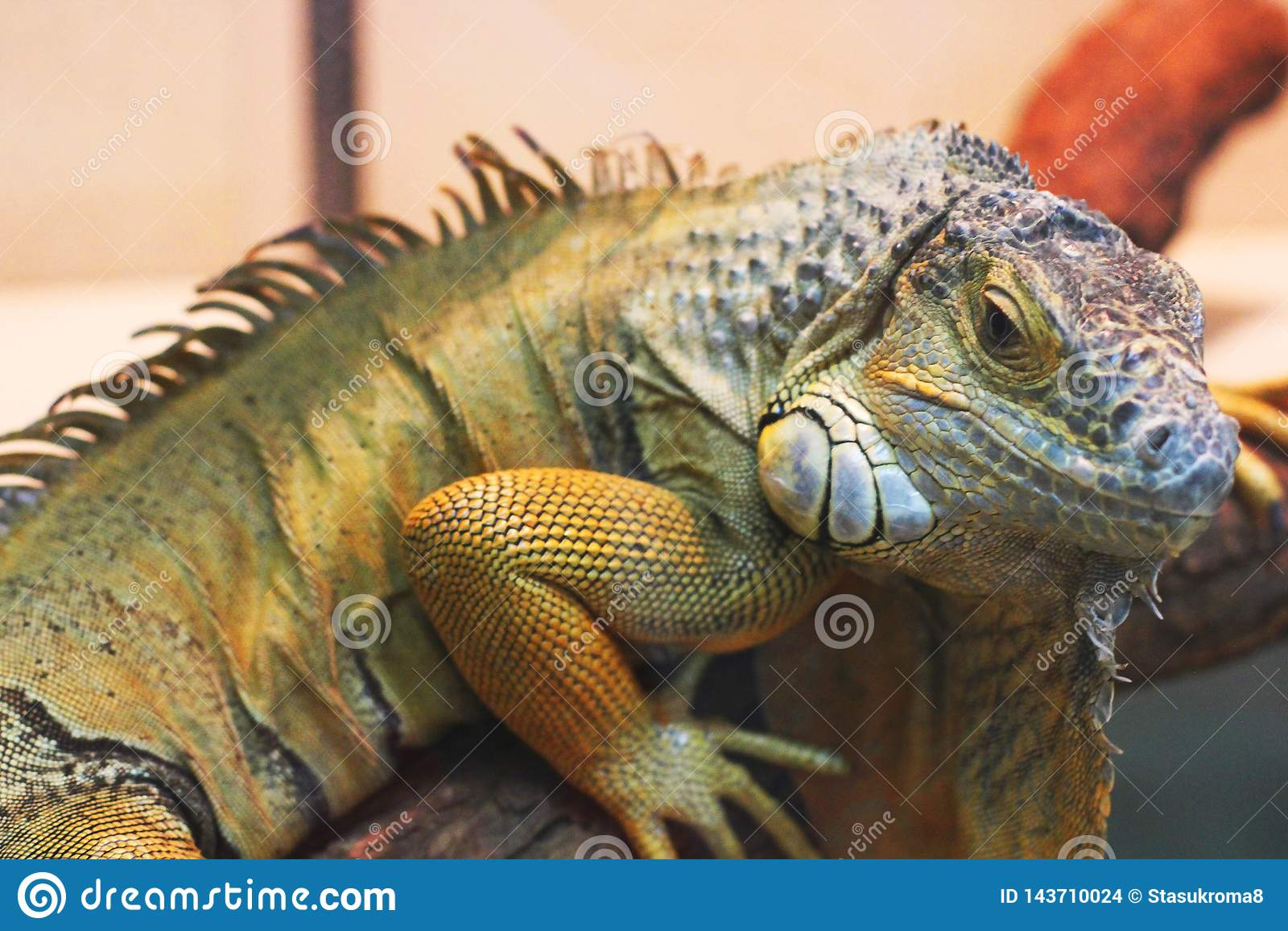 Iguana in the terrarium