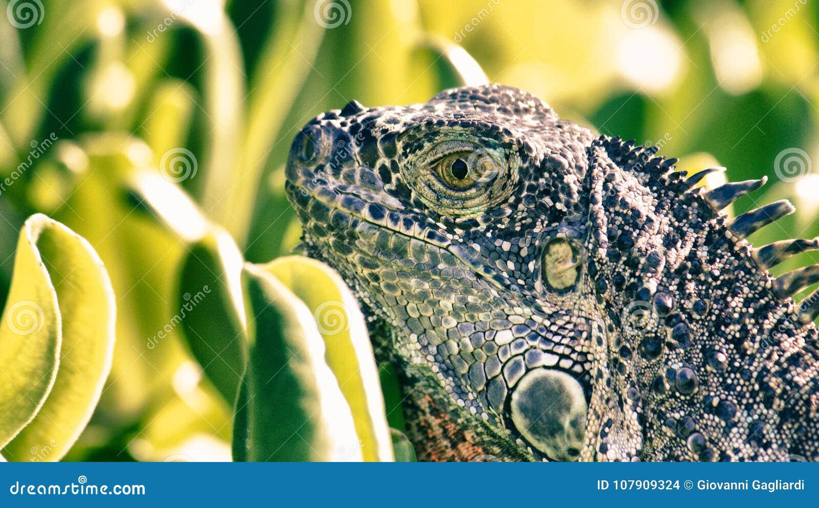 Iguana with Vegetation in Background