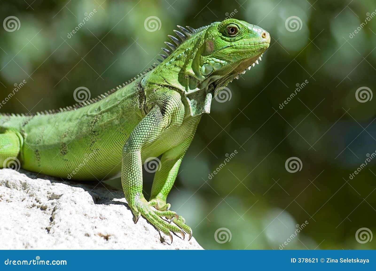 Iguana verde masculina