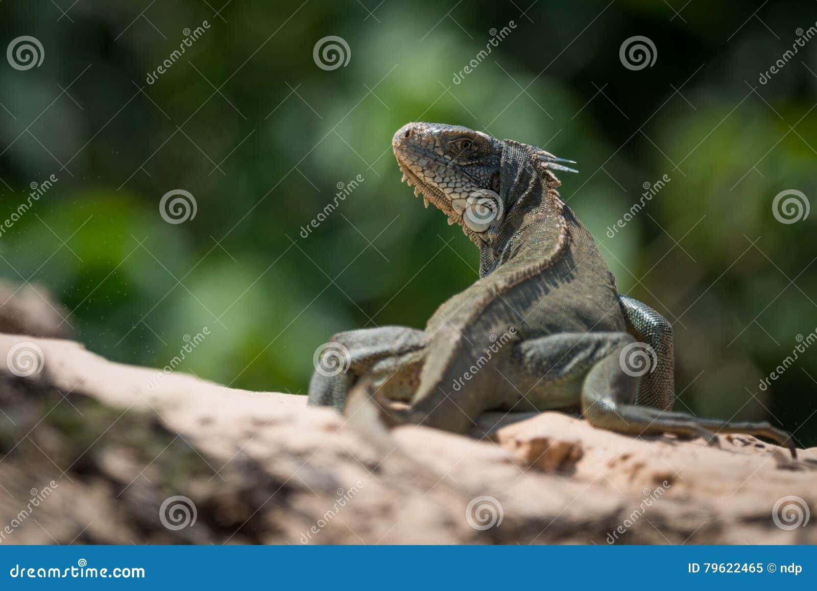 Iguana verde no horizonte que gira para a câmera