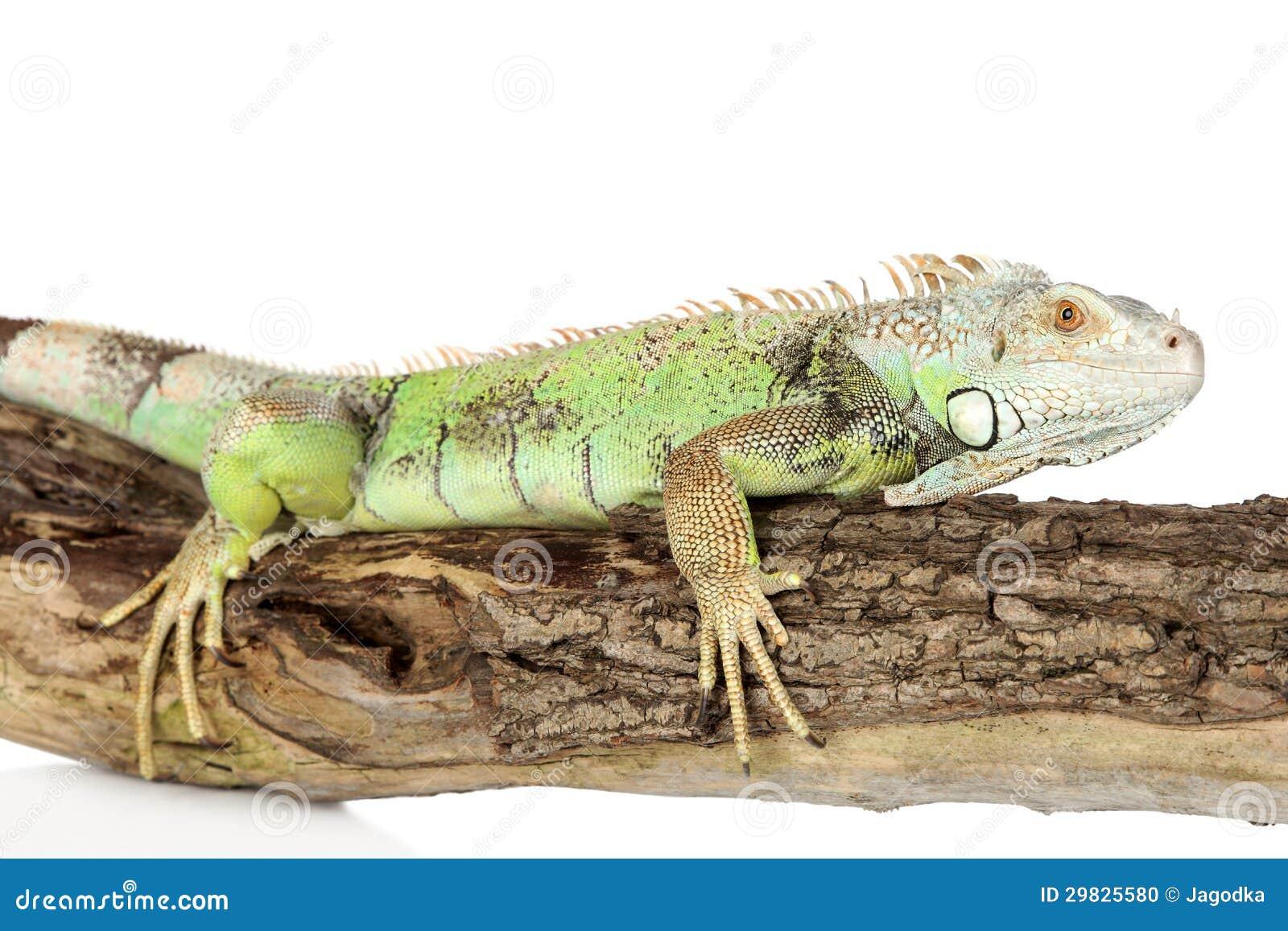 Iguana verde que rasteja em uma árvore