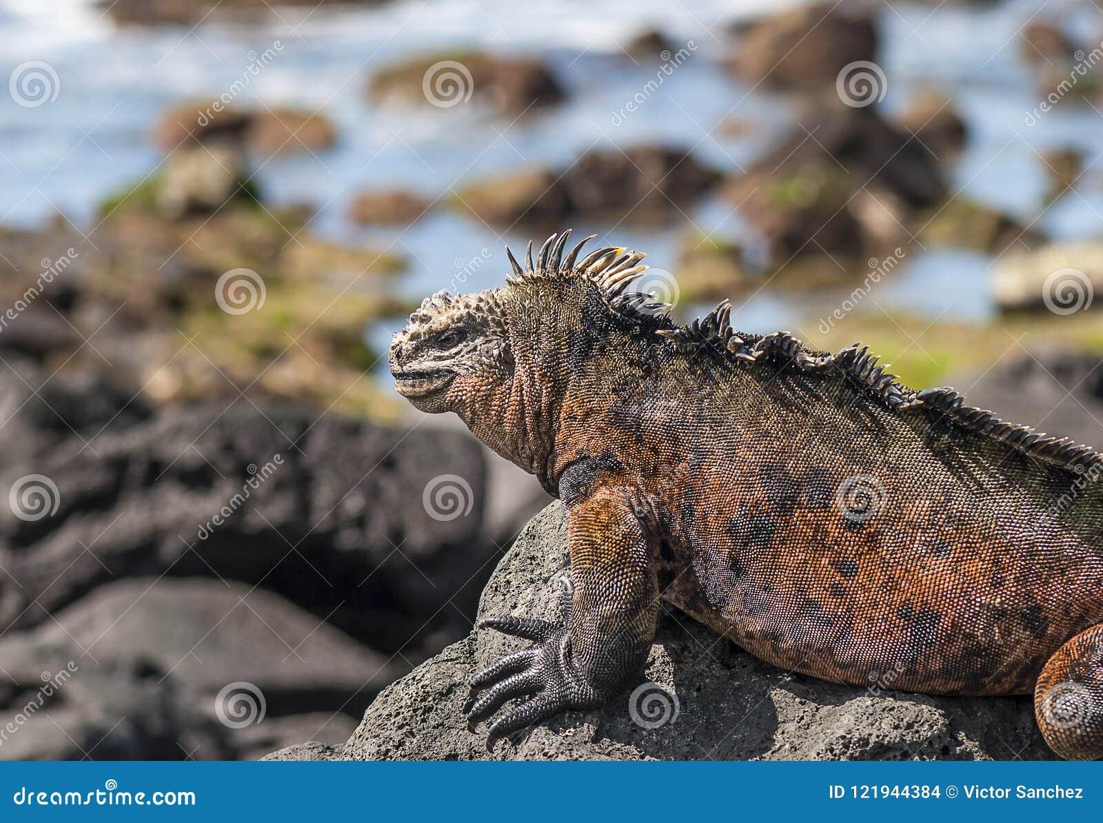 Iguana vermelha na rocha, Ilhas Galápagos, Equador
